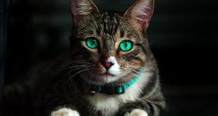 אדוונס לחתולים