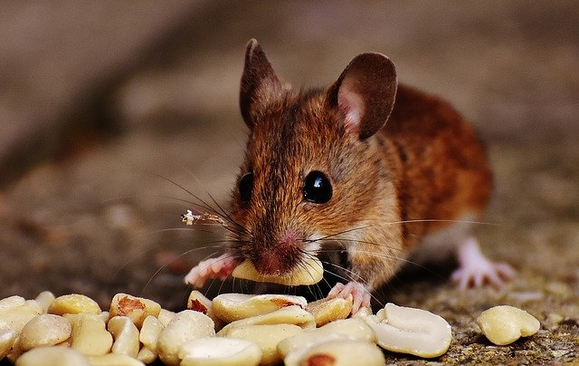 קקי של עכבר