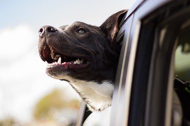 כלב גדול / כלב שמירה