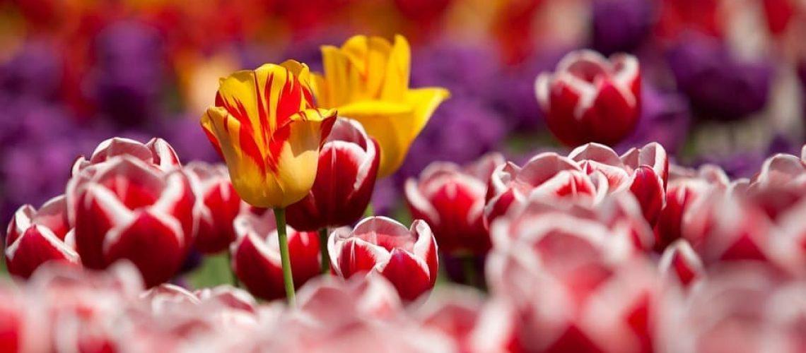 tulips-65305_960_720